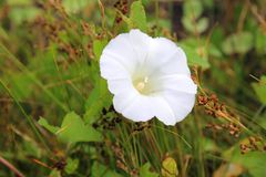 White bindweed Royalty Free Stock Photo