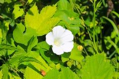 White bindweed Stock Image