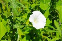 White bindweed Stock Photos
