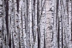 White Birch Stock Photography