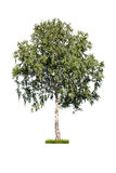 White birch Stock Photos