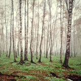 White birch Stock Photos