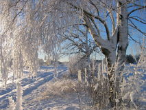 White birch. Winter birch in a frosty day Stock Image