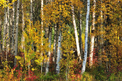 White Birch Royalty Free Stock Photography