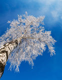White Birch. Birch covered with white snow and hoarfrost. Russian winter 2009 Royalty Free Stock Images