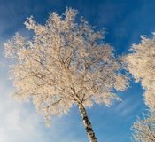 White Birch. Birch covered with white snow and hoarfrost. Russian winter 2009 Royalty Free Stock Photo