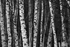 White birch Royalty Free Stock Photo