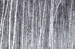 White Birch. Growth forests of the beauty of white birch Royalty Free Stock Images