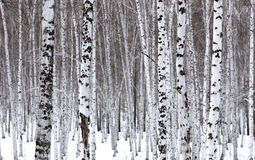 White Birch. Growth forests of the beauty of white birch Stock Photography