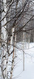 White Birch against white snow. White birch in a line stand in the deep snow of winter Stock Photo