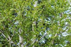 White birch allergen Stock Photography