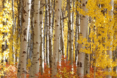 White Birch in Autumn Glory. Colorful foliage at Cascade Loop in Washington State in Oct Stock Images