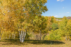 White Birch in the autumn. This photo was taken in Hama (Frog) Dam scenic spot, WulanBu all grassland, Bashang Grassland, Hebei province, china Stock Image