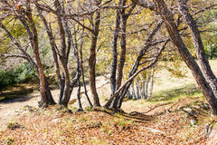 White Birch in the autumn Stock Photography