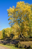 White Birch in the autumn stock image