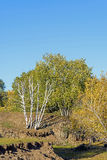 White Birch in the autumn Royalty Free Stock Photography