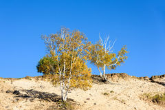 White Birch in the autumn Royalty Free Stock Images