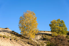 White Birch in the autumn stock photos