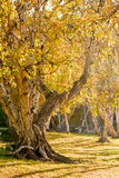 White Birch in the autumn Royalty Free Stock Image