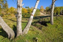 White Birch in the autumn Stock Photo