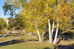 White Birch in the autumn royalty free stock photo