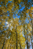 The White Birch autumn scenery royalty free stock photos