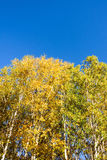The White Birch autumn scenery stock photography