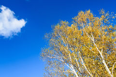 The White Birch autumn scenery royalty free stock images