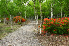White birch and azalea bloom Royalty Free Stock Images
