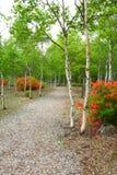 White birch and azalea bloom Stock Images