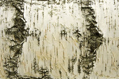 White Birch Background Stock Images