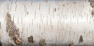 White birch bark, close up background texture Royalty Free Stock Image