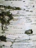 White birch bark macro royalty free stock photo