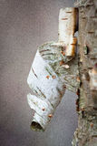 White birch bark. In sprigtime Royalty Free Stock Photos