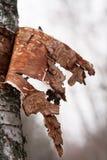White birch bark. In sprigtime Royalty Free Stock Image