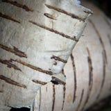 White birch bark. In sprigtime Stock Image