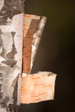 White birch bark. In sprigtime Stock Images