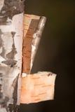 White birch bark Stock Images