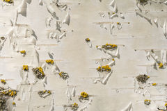 White birch bark texture with a small amount of yellow moss, abstract background Stock Photos