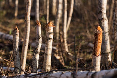 White birch beaver workin marsh Stock Photography