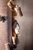 White birch beaver workin marsh. White birch White birch beaver work in marsh  in sprigtime Royalty Free Stock Photography