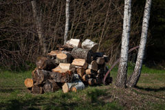 White birch beaver works. In sprigtime Stock Photos