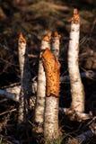 White birch beaver works Royalty Free Stock Photos