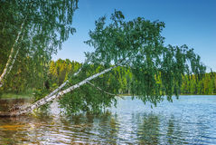 White birch, bent down to river Stock Images