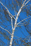 White birch on blue sky background. White birch against blue sky at spring Royalty Free Stock Image