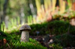 White Birch Bolete Stock Image
