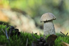 White Birch Bolete Royalty Free Stock Photo
