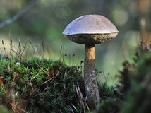 White Birch Bolete Stock Photo