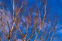 White birch branches Stock Image