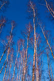 White birch branches on a background of blue sky Stock Images